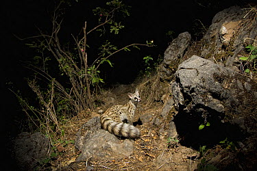 Small-spotted Genet (Genetta genetta) at night, Hawf Protected Area, Yemen  -  Sebastian Kennerknecht