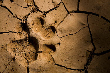 Striped Hyena (Hyaena hyaena) footprint in cracked mud, Hawf Protected Area, Yemen  -  Sebastian Kennerknecht