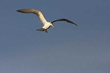 Great Crested-Tern (Sterna bergii) hovering, Hawf Protected Area, Yemen  -  Sebastian Kennerknecht