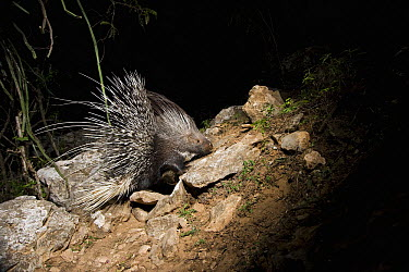 Indian Crested Porcupine (Hystrix indica) at night, Hawf Protected Area, Yemen  -  Sebastian Kennerknecht