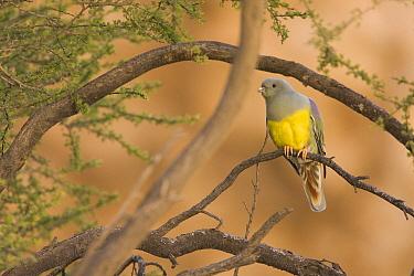 Bruce's Green-Pigeon (Treron waalia), Hawf Protected Area, Yemen  -  Sebastian Kennerknecht