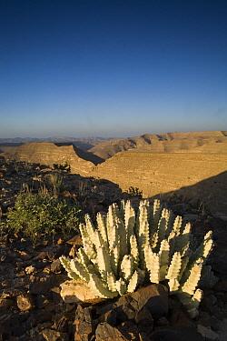 Caralluma (Caralluma quadrangula) succulent plant on plateau in sandstone desert, Hawf Protected Area, Yemen  -  Sebastian Kennerknecht