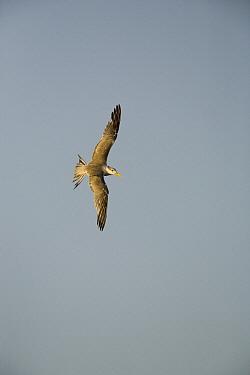 Great Crested-Tern (Sterna bergii) flying, Hawf Protected Area, Yemen  -  Sebastian Kennerknecht