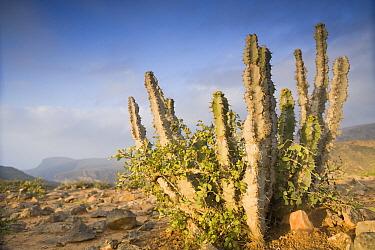 Spurge (Euphorbia cactus) cactus on plateau, Hawf Protected Area, Yemen  -  Sebastian Kennerknecht