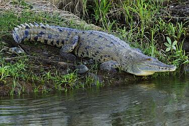 American Crocodile (Crocodylus acutus) on riverbank, Costa Rica  -  Hiroya Minakuchi