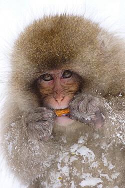 Japanese Macaque (Macaca fuscata) juvenile eating bark in snow, Jigokudani, Japan  -  Hiroya Minakuchi