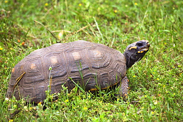 Red-footed Tortoise (Geochelone carbonaria), South America  -  Konrad Wothe