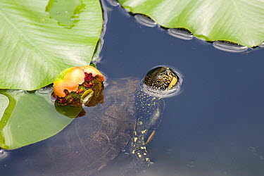 European Pond Turtle (Emys orbicularis) breathing, Europe  -  Konrad Wothe