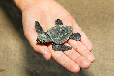 Loggerhead Sea Turtle (Caretta caretta) hatchling held by child, Lykia, Turkey  -  Konrad Wothe