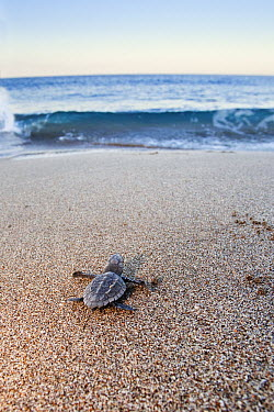 Loggerhead Sea Turtle (Caretta caretta) hatchling heading to sea, Lykia, Turkey  -  Konrad Wothe