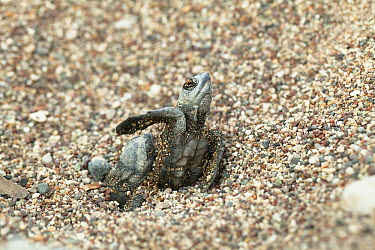 Loggerhead Sea Turtle (Caretta caretta) hatchlings emerging from sand, Lykia, Turkey  -  Konrad Wothe