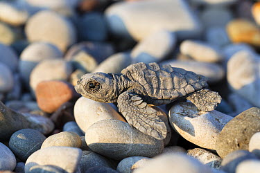 Loggerhead Sea Turtle (Caretta caretta) hatchling on pebbles, Lykia, Turkey  -  Konrad Wothe