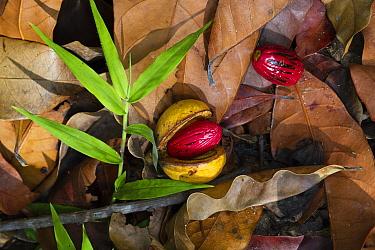 Ilomba (Pycnanthus angolensis) fruit on rainforest floor, Mahale Mountains National Park, Tanzania  -  Konrad Wothe
