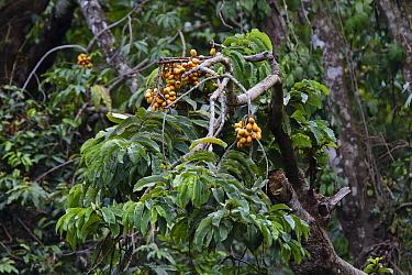 Ilomba (Pycnanthus angolensis) fruit in rainforest, Mahale Mountains National Park, Tanzania  -  Konrad Wothe