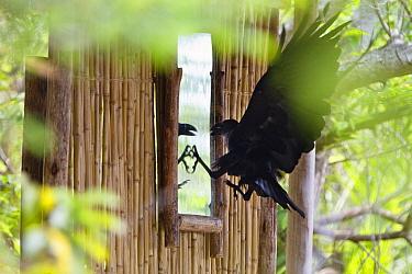White-necked Raven (Corvus albicollis) attacking its mirror image, Mahale Mountains National Park, Tanzania  -  Konrad Wothe