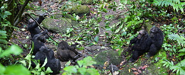 Chimpanzee (Pan troglodytes) males after deadly fight sitting around dead alpha male, Mahale Mountains National Park, Tanzania  -  Konrad Wothe