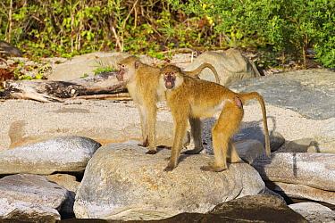 Kinda Baboon (Papio cynocephalus kindae) pair, Lake Tanganyika, Mahale Mountains National Park, Tanzania  -  Konrad Wothe