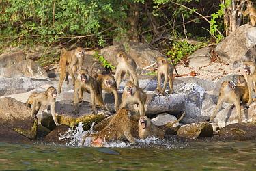 Yellow Baboon (Papio cynocephalus) troop ganging up on one individual, Lake Tanganyika, Mahale Mountains National Park, Tanzania  -  Konrad Wothe