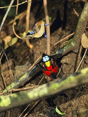 Wilson's Bird-of-paradise (Cicinnurus respublica) male displaying to female, Batanta Island, Indonesia  -  Konrad Wothe
