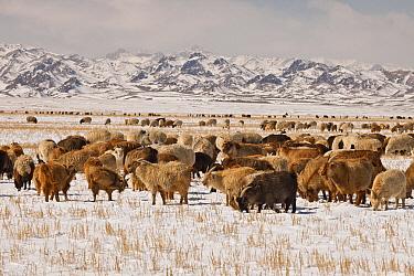 Domestic Sheep (Ovis aries) and Domestic Goat (Capra hircus) group grazing in winter, Gobi Desert, Mongolia  -  Colin Monteath/ Hedgehog House