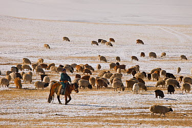 Domestic Sheep (Ovis aries) and Domestic Goat (Capra hircus) with shepherd out to pick up newborns and keep them warm in ger, northern Mongolia  -  Colin Monteath/ Hedgehog House
