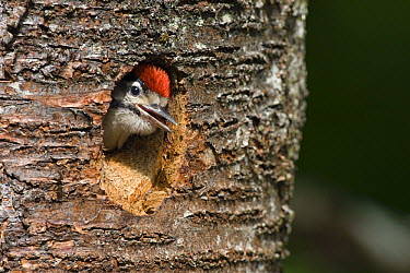 Great Spotted Woodpecker (Dendrocopos major) chick in nesthole, Upper Bavaria, Germany  -  Konrad Wothe