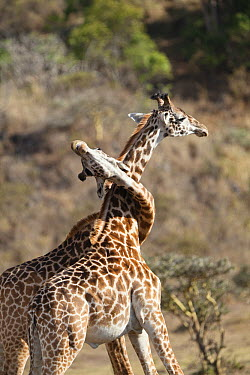 Masai Giraffe (Giraffa tippelskirchi) males fighting, Arusha National Park, Tanzania  -  Konrad Wothe