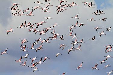 Lesser Flamingo (Phoenicopterus minor) flock flying, Arusha National Park, Tanzania  -  Konrad Wothe