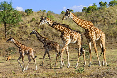 Masai Giraffe (Giraffa tippelskirchi) females and calves, Arusha National Park, Tanzania  -  Konrad Wothe
