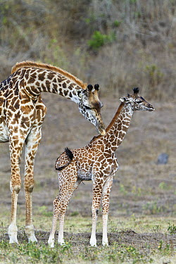 Masai Giraffe (Giraffa tippelskirchi) mother cleaning calf, Arusha National Park, Tanzania  -  Konrad Wothe