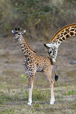 Masai Giraffe (Giraffa tippelskirchi) mother nuzzling calf, Arusha National Park, Tanzania  -  Konrad Wothe