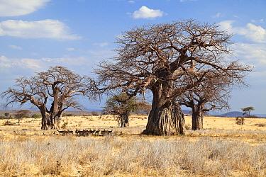 Baobab (Adansonia digitata) trees, Ruaha National Park, Tanzania  -  Konrad Wothe