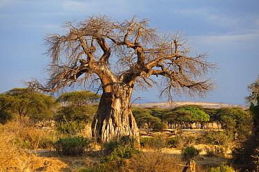 Baobab (Adansonia digitata) tree, Ruaha National Park, Tanzania  -  Konrad Wothe