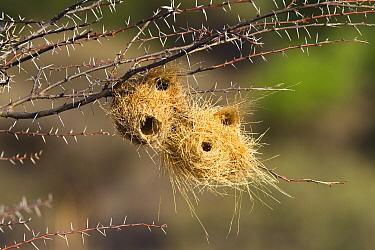 Grey-headed Social-Weaver (Pseudonigrita arnaudi) nests in Acacia (Acacia sp) tree, Ruaha National Park, Tanzania  -  Konrad Wothe
