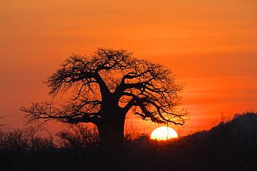 Baobab (Adansonia digitata) tree at sunset, Ruaha National Park, Tanzania  -  Konrad Wothe