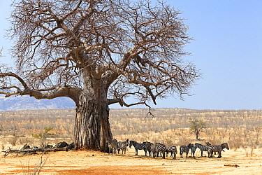 Zebra (Equus quagga) herd resting in shade of Baobab (Adansonia digitata) tree, Ruaha National Park, Tanzania  -  Konrad Wothe