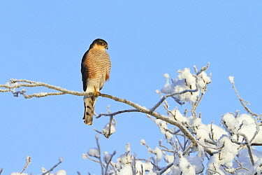 Eurasian Sparrowhawk (Accipiter nisus) male in winter, Upper Bavaria, Germany  -  Konrad Wothe