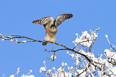 Eurasian Sparrowhawk (Accipiter nisus) male taking flight in winter, Upper Bavaria, Germany  -  Konrad Wothe