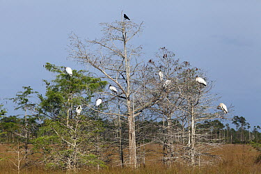 Wood Stork (Mycteria americana) group roosting in Dwarf Cypress (Taxodium sp), Everglades National Park, Florida  -  Scott Leslie
