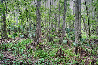 Bald Cypress (Taxodium distichum) trees in swamp, Highlands Hammock State Park, Florida  -  Scott Leslie