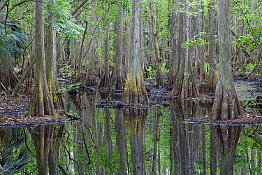 Bald Cypress (Taxodium distichum) trees in flooded swamp, Highlands Hammock State Park, Florida  -  Scott Leslie