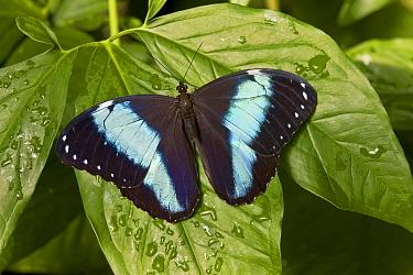 Morpho Butterfly (Morpho achilles), Tucson Botanical Gardens, Tucson, Arizona  -  Tom Vezo