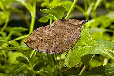Angled Leafwing (Anaea glycerium) butterfly mimics dead leaf, Tucson Botanical Gardens, Tucson, Arizona  -  Tom Vezo