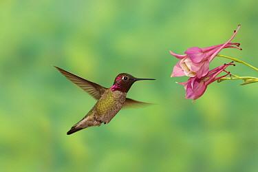 Anna's Hummingbird (Calypte anna) feeding on flower nectar, Santa Rita Mountains, Arizona  -  Tom Vezo