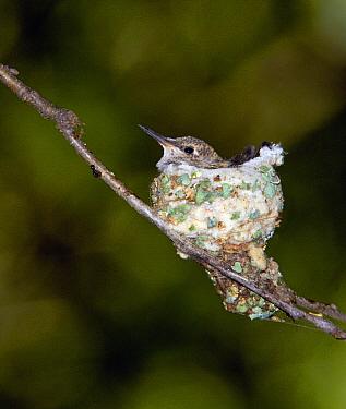 Black-chinned Hummingbird (Archilochus alexandri) in nest, North America  -  Tom Vezo