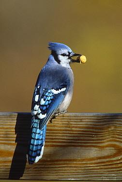 Blue Jay (Cyanocitta cristata) carrying peanut, Long Island, New York  -  Tom Vezo