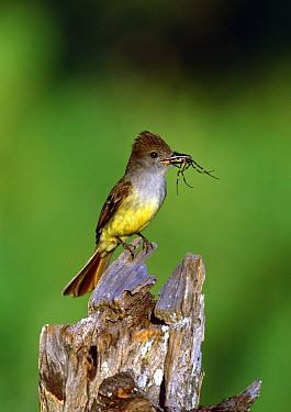 Brown-crested Flycatcher (Myiarchus tyrannulus) with spider prey, Texas  -  Tom Vezo