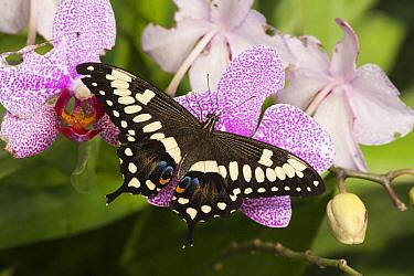 Emperor Swallowtail (Papilio ophidicephalus) butterfly, Tucson Botanical Gardens, Tucson, Arizona  -  Tom Vezo