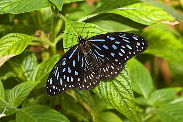 Dark Blue Tiger (Tirumala septentrionis) butterfly, Tucson Botanical Gardens, Tucson, Arizona  -  Tom Vezo