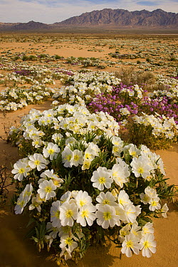 Evening Primrose (Oenothera sp) flowers in desert, Joshua Tree National Park, California  -  Tom Vezo